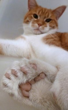 The typical cat has 18 toes, but Daniel has two extra on each paw due to a genetic mutation called polydactylism.