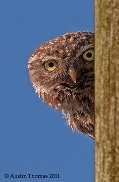 Little Owl Peeping