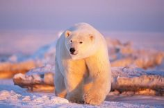 Polar bear bathed in the fading sunset light