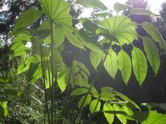 Brassaiopsis mitis CHB&CM08SIK87 , jardin jungle karlostachys, eu, haute-normandie