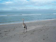 Great Blue Heron - Sanibel Island FL Christmas Day 2007