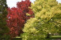 Fagus sylvatica asplenifolia - Fagus sylvatica atropurpurea Parks, Flowers, Formal Gardens, Plants, Florals, Flower, Blossoms, Parkas