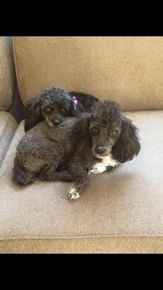 Love my minis Pepper and Chase, but ready to expand my family…looking for two standards in the Southern California area Submitted by Erica Wagner. Teacup Poodle Puppies, Poodle Puppies For Sale, Tea Cup Poodle, Corgi Puppies, Mini Poodles, Standard Poodles, Toy Poodles, Phantom Poodle, Dog Treats