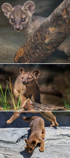 4 new fossa pups are on exhibit at the San Diego Zoo Africa Rocks, Baby Animals, Cute Animals, San Diego Zoo, Baby Kittens, Zoos, Urban Legends, All Gods Creatures, Teenage Mutant Ninja Turtles