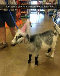 O My Gosh! I want to see a goat at a pet store!