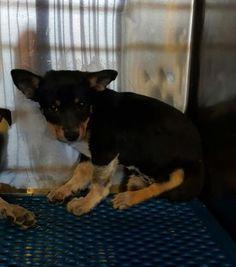 Animal ID\t35339445 \r\nSpecies\tDog \r\nBreed\tChihuahua, Short Coat\