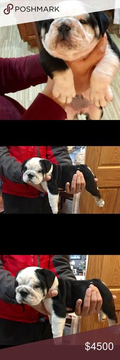 English Bulldog Black Tri I have an 8 week old Full AKC certified English bulldog ready to steal your heart for years to come. Take me home. Will come with up to date shots and vet clean bill of health. Can be shipped all around the US or outside of the country. Other