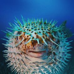 Hawaii not only give you the best holiday or honeymoon. The animal too amazing meet the Spot-fin Porcupine fish . Arrange meeting with him and arrived in style http://ift.tt/20nA7aE will provide the means to airport of your choice from Instagram: http://ift.tt/29iOLgL 2016 at 08:50AM July 04 Uncategorized