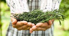 Een team van wetenschappers heeft aangetoond dat het snuiven van rozemarijn het geheugen met 75% kan verhogen. Dit veelzijdige medicinale kruid biedt tal van gezondheidsvoordelen waardoor het in de…