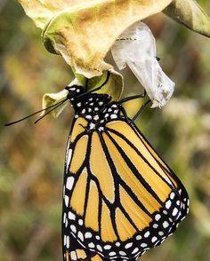 Monarch 2- eyes open Photo by Jeff N. — National Geographic Your Shot
