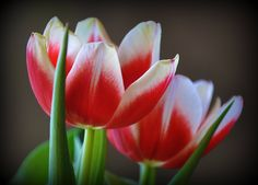 Red and white tulips!