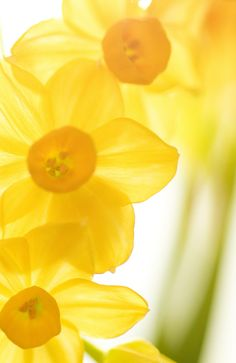 Daffodils. > yellow {*beautiful pic}