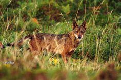 Iberian Wolf. Galicia (Spain) Lobo ibérico en Galicia.  La iberia natural: En tierra de lobos.