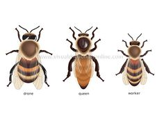 The 3 castes of a honey bee. Types Of Honey Bees, Different Types Of Bees, Bee Identification, Bee Rocks, Drone Bee, Bee Images, Visual Dictionary, Bee Friendly, Classroom Crafts