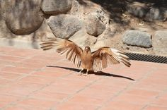 Chimango (Milvago chimango) at Cafayate, Salta. Also called in spanish triuque, tiuque, chiuque y caracara chimango. is a species of bird of prey in the Falconidae family. It is found in Argentina, Brazil, Chile, Paraguay and Uruguay.