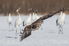 White Tailed Eagle.  Hokkaido Japan  http://www.adephotography.com/PhotoTours