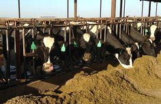 Canola: Good Protein Source for Dairy Cattle http://agresearchmag.ars.usda.gov/2016/feb/canola/