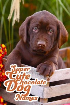 Super cute chocolate dog names - Great names for your Chocolate Labrador.