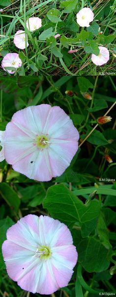 Akkerwinde (Convolvulus arvensis). Thee getrokken van de bloemen zou laxerend werken. Koude thee getrokken van de bladeren eveneens.