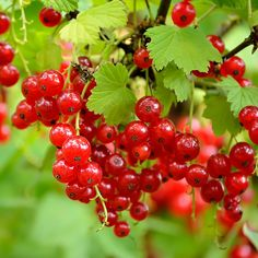 Dish Garden, Fruit Garden, Planting Fruit Trees, Currant Bush, Berry Plants, Fruit Plants, Edible Plants, Red Lake, Comment Planter