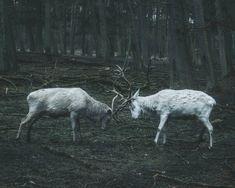 Clash of antlers by livingitrural