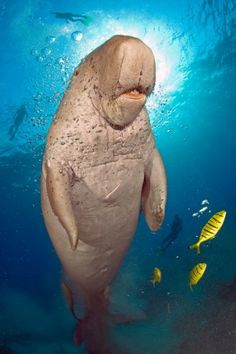 Dugongs are distinguished from manatees by a fluked, dolphin-like tail, and a unique skull and teeth. They're found in warm coastal waters from the western Pacific Ocean to the eastern coast of Africa. (by Daniel Selmeczi)