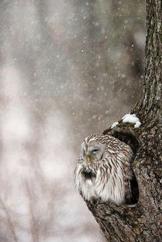 Contemplative Owl