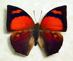 Valentine's Day Gift Real Framed Red Anaea Ryphea Butterfly 359. $29.99, via Etsy.