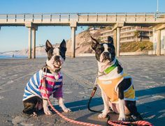 We're gonna run away and join the circus #justkiddingiloveyou #whensdinner #sandypaws #vitaminsea #whpthisislove . Dedicating this to our friend in the islands. #londonsxmasgift4u @808london_hawaii and his sister #meilingpug  we wanted to show you one of our fav beaches.We are slightly obsessed with the beach.  All the lifeguards went home so we're off leash and gonna make a ruckus.  If you don't know them.  Stop by their page and show warm Aloha  . Shirts by @neon.and.wildflowers and…