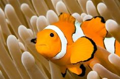 Clown Anemonefish - Jigsaw Puzzles Online at JSPuzzles