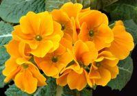 Lista de flores que crecen en la sombra8