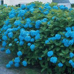 Blueberry Parfait Hydrangea..