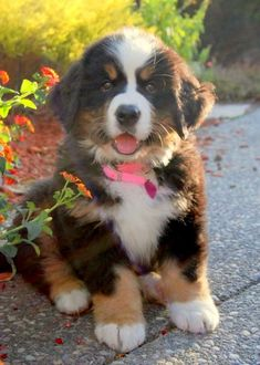 Bernese Mountain Dog. Our sweet Berner puppy @ 9 weeks old.