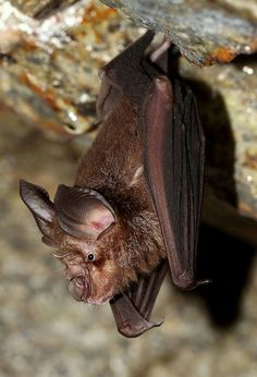These little critters are amazing! Nocturnal Animals, Cute Animals, Ugly Animals, Bat Species, Power Animal, British Wildlife, Creatures Of The Night, Woodland Creatures, Natural World