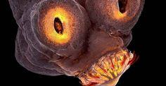 A cabeça de uma tênia, verme que pode parasitar vários animais, inclusive o homem