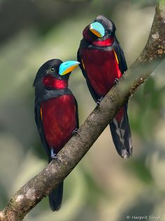 Black and Red Broadbill Pair. Photo by Harprit Singh. I love the deep red on these birds Kinds Of Birds, All Birds, Little Birds, Love Birds, Angry Birds, Pretty Birds, Beautiful Birds, Animals Beautiful, Beautiful Pictures
