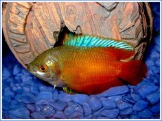 This photo from the TrekLens travel gallery is titled 'Flame Gourami Photo'. Fish Breeding, Two Fish, Koi Carp, Poisons, Discus, Guppy, Cichlids, Underwater World, Tropical Fish