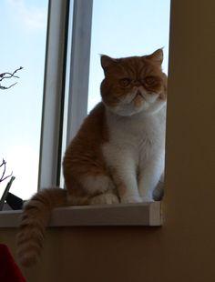 Exotic shorthair cat Chester