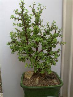 portulacaria afra Jade Plant Bonsai, Succulent Bonsai, Juniper Bonsai, Jade Plants, Bonsai Art, Cactus Plants, Succulents In Containers, Container Plants, Planting Succulents