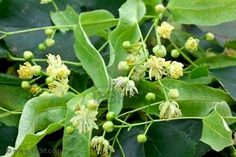 Lime Blossom Herbal Uses-Referred to as the linden blossom in North America, the lime blossom is a very powerful, and useful,  medicinal flower. The flowers, inner bark, and leaves of the linden tree have been collected and used to treat a variety of illnesses for ages.