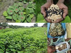 Medicinal Rice Formulations for Diabetes Complications, Heart and Kidney Diseases (TH Group-88) from Pankaj Oudhia's Medicinal Plant Database