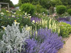 yellow roses and nepeta - Google Search