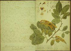 """Fragmento do livro """"Estudos botânicos e descrições de plantas brasileiras"""", de Francisco Freire Alemão. sec. XIX."""