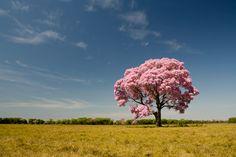 Ipê Rosa, árvore nativa do cerrado brasileiro.
