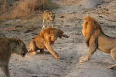 Two lions pictured during brutal and bloody fight in South African ...
