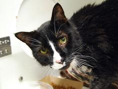 CASSIDY - A1098313 - - Manhattan  Please Share:***TO BE DESTROYED 12/09/16***OWNER DIED -EIGHT YEARS OLD…NEUTERED…GREAT BEHAVIOR RATING… CAME IN WITH HOUSEMATE MISTY – NOT LISTED -  Click for info & Current Status: http://nyccats.urgentpodr.org/cassidy-a1098313/