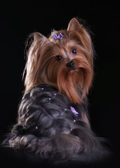 Rhinestone yorkie look at the plaited hair on body!!!