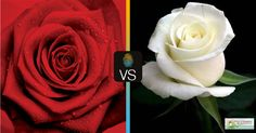 http://bit.ly/1HVOxFY #rosa #rossa #rosa #bianca ? #red #rose or #white #rose? #comparyson