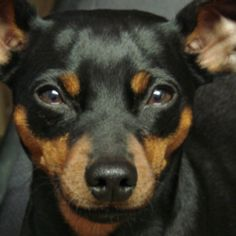 Max is a minpin.  He weighed about 3 pounds.  And thought he was Rottweiler.    This miniature pinscher looks just like my dog Gilligan, who also thinks he is a Rottweiler!