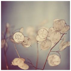 Flower Photograph  Lunaria  There is a Softness   by AliciaBock #fpoe